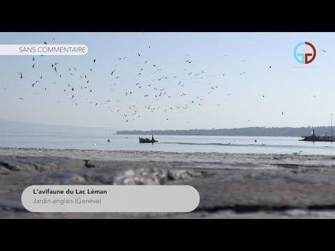 L'avifaune du Lac Léman